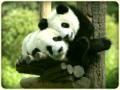 Ursinhos-panda-b0812